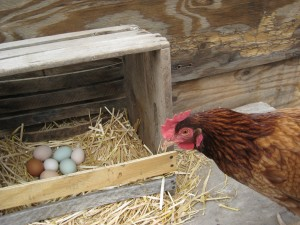 chicken-and-egg2-300x225