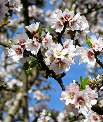 California almond blossoms at leaf break.