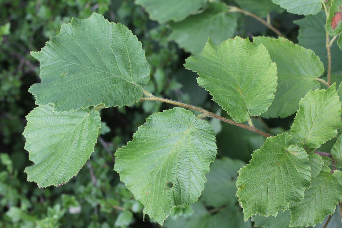 Leaf Hibiscus Identification