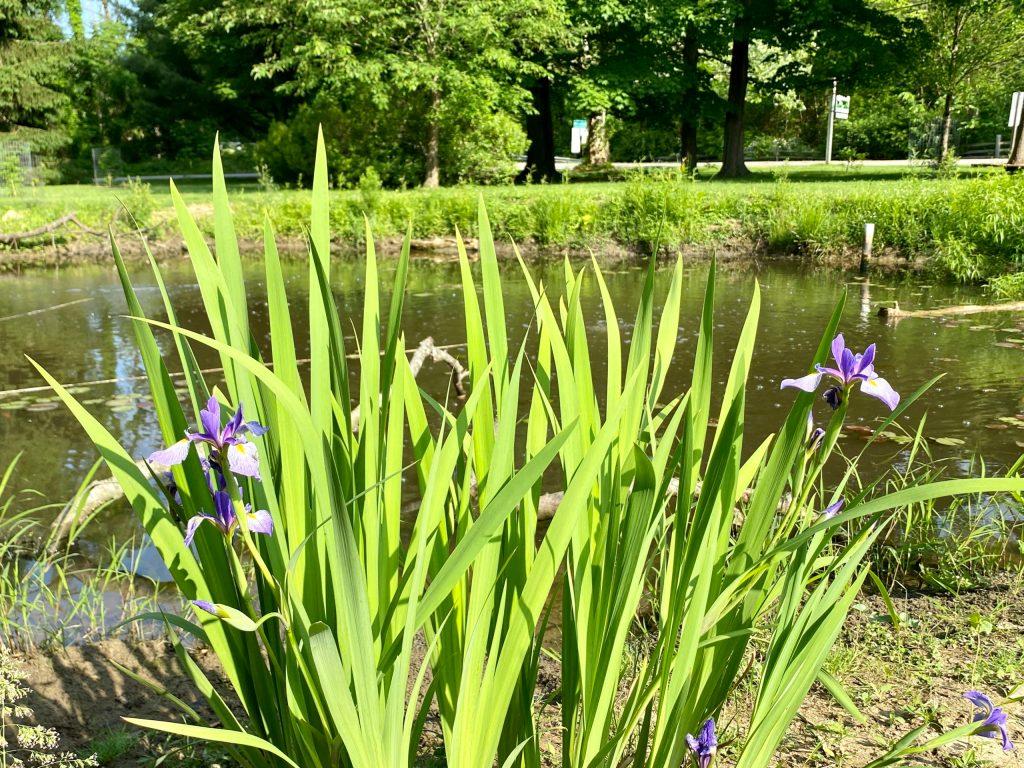 Iris versicolor (4)