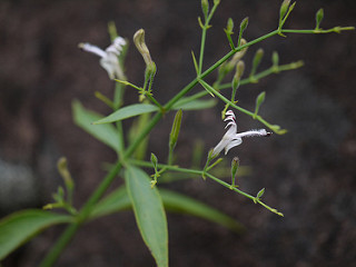 Andrographis paniculata fights dengue