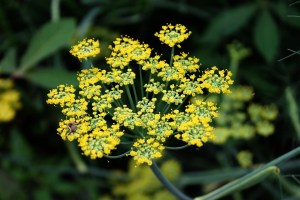 fennel and curcumin relieve IBS