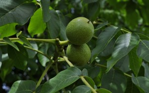Juglanin green walnuts