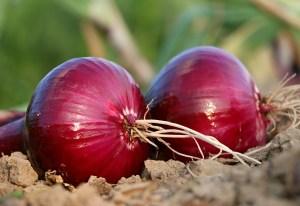 quercetin blood pressure onions
