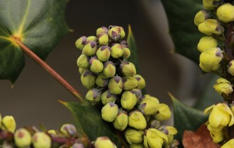 Oregon grape contains berberine, which fights cancer.