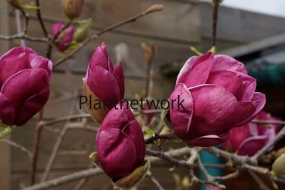 マグノリア Magnolia Genie - ーのコピー