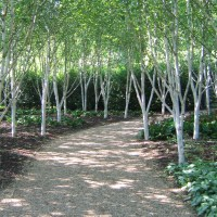 Betula identification and cultivation