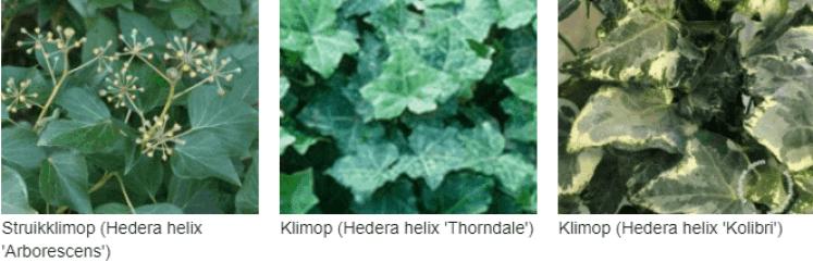 Hedera helix arborescens kopen