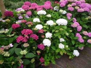 Planten en bemesten van Hortensia