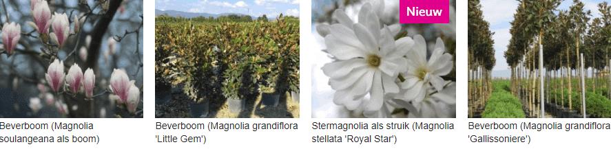 Magnolia kopen