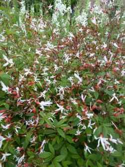 Gillenia trofoliata