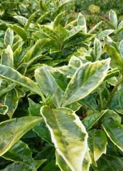 Aucuba japonica Sulphurea Marginata
