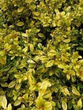 Ilex crenata Golden Gem