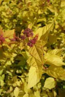 Spiraea japonica Golden princess