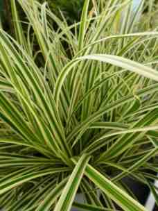 Carex morrowii aureovariegata