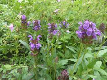 Prunella grandiflora Violet Blue