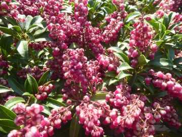 Pieris japonica Valley Valentine