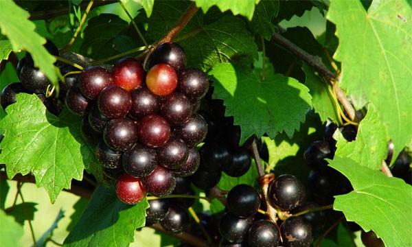 Grape Vine Purple Muscadine Variety