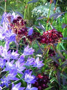 Dianthus sooty and Cammasia