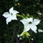 Nicotiana white (1)