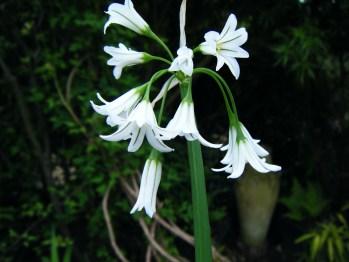 Allium Triquetrum (2)