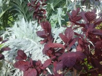Cotinus and Cardoon 2