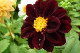 Dahlia_at_Lalbagh_flowershow