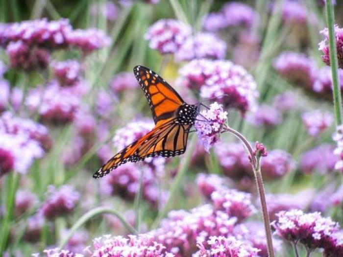 verbena and butterfly