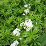 Galium Oderatum flowers (3)