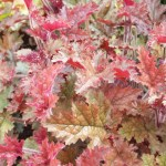 Heuchera close up