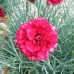 Dianthus-'devon-magic'-(1)