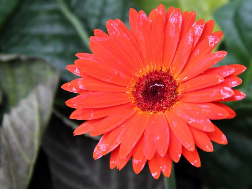 Gerbera can absorb all noxious chemicals  from the air