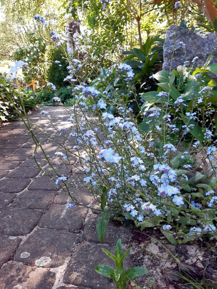 FOrget mt not flower by brick path spring flowers pale blue flower