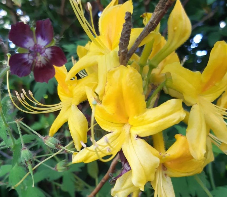 Rhododendron Luteum flower yellow close up
