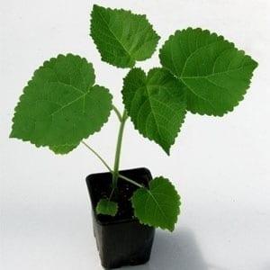 paulownia tree Elongata