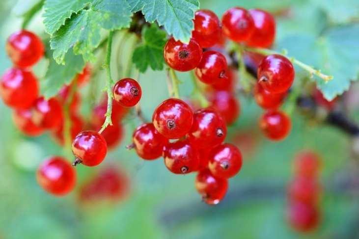 Groseilliers biologiques. Acheter nos plants de groseilles bio.