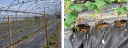 Deux types de bâchage pour la culture du framboisier (partiel ou total)