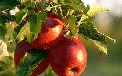 Apfelpflanze