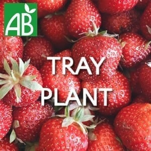 Petits Plants Fruits Rouges Fraisier Clery Tray Plants