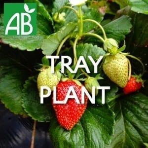 Petits Plants Fruits Rouges Fraisier Dream Tray Plants