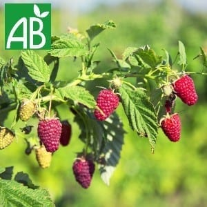 Plants Petits Fruits Framboisier Tulamen Bio