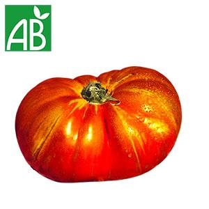 Plant chaud de tomates Russe biologique à fruit gros, écrasés et rouges-orangés