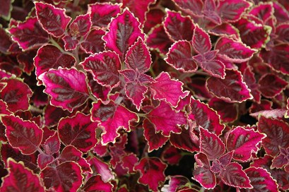 Image result for coleus trailing plum