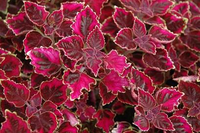 Image result for coleus trailing plum