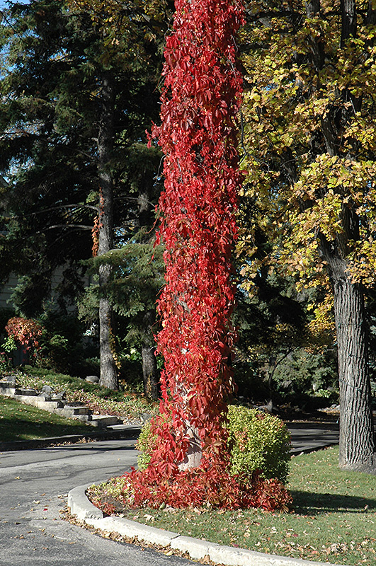 Berry Trees Virginia