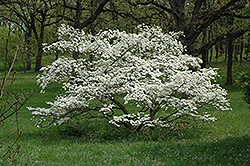 Cherokee Princess Flowering Dogwood (Cornus florida 'Cherokee Princess') at English Gardens