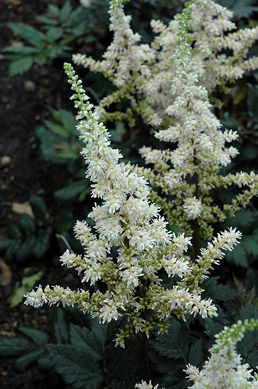 Visions In White Astilbe Astilbe Chinensis Visions In White In Inver Grove Heights