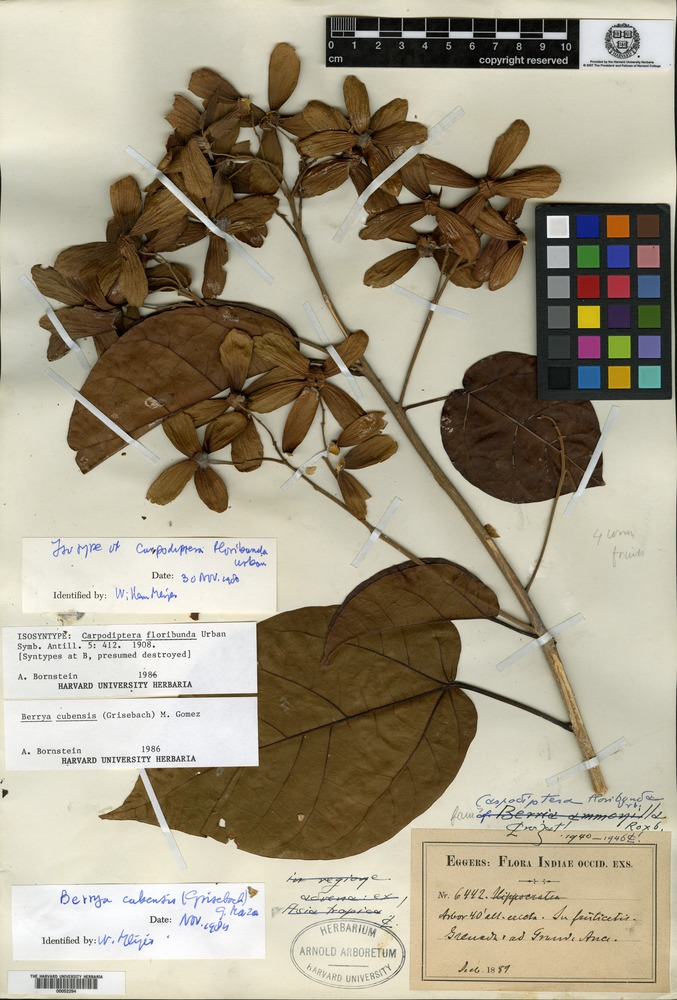 Isosyntype of Carpodiptera floribunda Urban [family TILIACEAE]