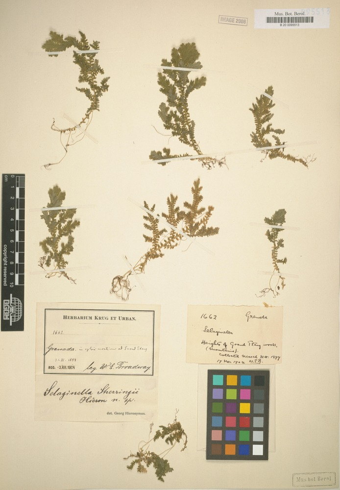 Type of Selaginella sherringii Hieron. [family SELAGINELLACEAE]