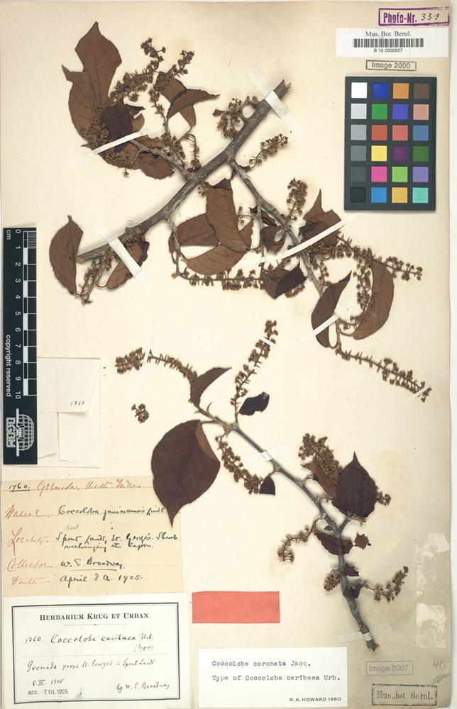 Type of Coccoloba caribaea Urb. [family POLYGONACEAE]